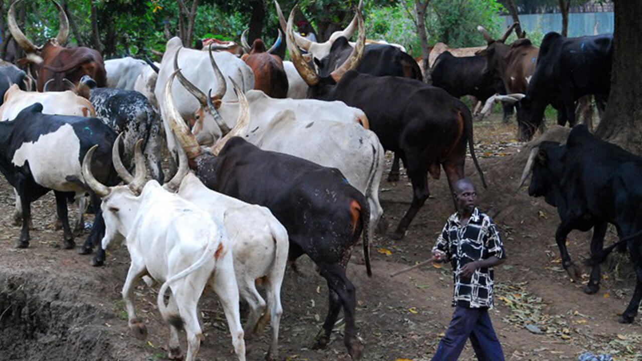 Image used to illustrate that Muiyetti Allah pays N5m for 210 Cows